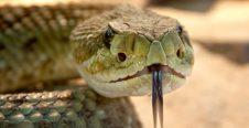 Rêver d'un serpent tirant la langue
