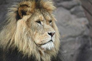 Le Lion arrogant et prétentieux ?