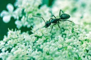 Signification de rêver d'une fourmi noire, rouge ou autre