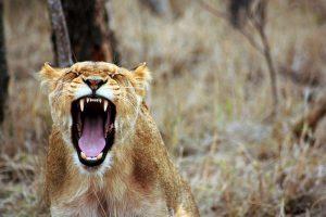 Le Lion colérique ?