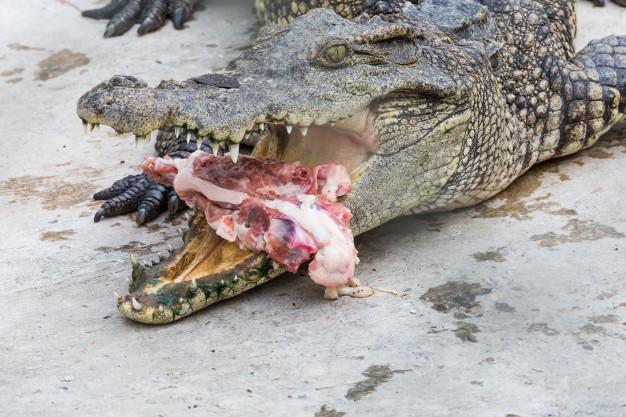 reve attaque crocodile