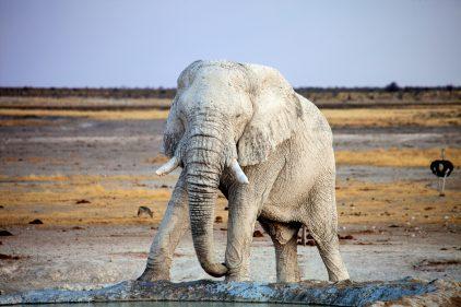 reve elephant blanc