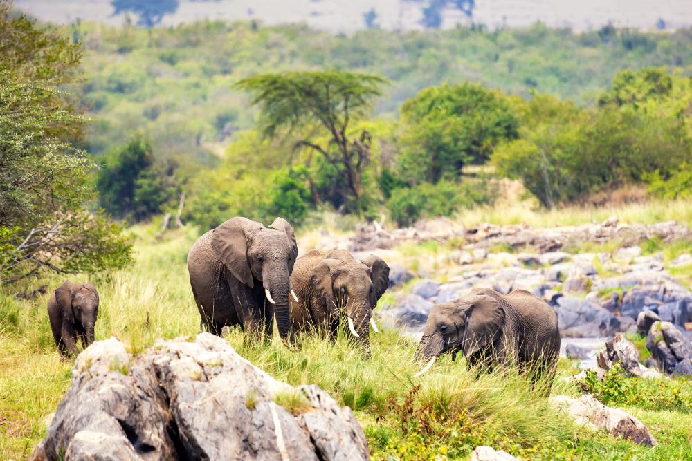 reve troupeau elephant